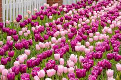 Stock Photo of pink Dutch tulips