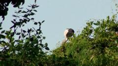 An Asian Openbill or Asian Openbill Stork tends its nest Stock Footage