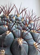 Gymnocalycium saglionis subsp. tilcarense macro (Cactaceae) - stock photo