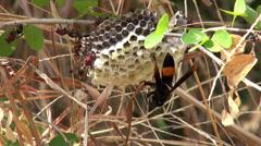 Oriental Hornet (Vespa orientalis, Linnaeus) Time-lapse Stock Footage