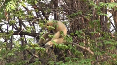 A Lar Gibbon rests in a tree top Stock Footage