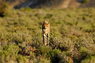 Stock Photo of cheetah