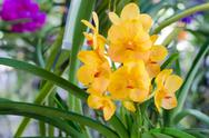 Stock Photo of light yellow orchid flowers