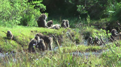 Troop of baboons on a hill, Tanzania, Africa Stock Footage