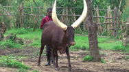 Stock Video Footage of Man herding for Ankole-Watusi cattle, Rwanda, Africa