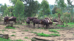 Ankole-Watusi cattle with largest horns, Rwanda, Africa Stock Footage
