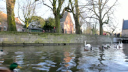 Swans and ducks in the canal. Bruges, Belgium. Stock Footage