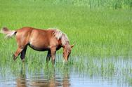 Stock Photo of brown horse on pasture spring season