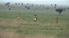Impala African antelope in Serengeti National Park, Tanzania, Africa Stock Footage
