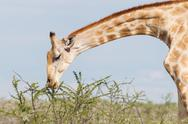 Stock Photo of giraffe in etosha, namibia