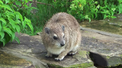 Hyraxes are small, thickset, herbivorous mammals - stock footage