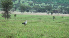 The Secretarybird or Secretary Bird (Sagittarius serpentarius) in Africa Stock Footage