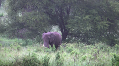 Lone African adult elephant walking in bushes, Serengeti, Tanzania, Africa Stock Footage