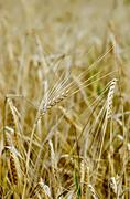 rye spike against the yellow field - stock photo