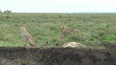 Tanzanian cheetahs resting after hunting, Tanzania, Africa - stock footage