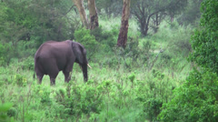 Lone African adult male elephant walking in bushes, Tanzania, Africa Stock Footage