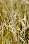 Rye spike on field background Stock Photos