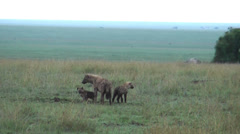 Female of tanzanian spotted hyena with cubs, Serengeti, Tanzania, Africa Stock Footage