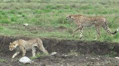 Several Tanzanian cheetahs walking in Serengeti National Park, Tanzania, Africa Stock Footage