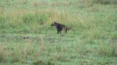 Cub of tanzanian spotted hyena running on earth, Tanzania, Africa Stock Footage