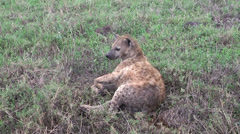 Tanzanian spotted hyena laying on earth, Tanzania, Africa Stock Footage