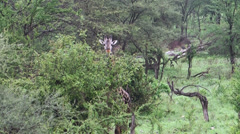 One giraffe walking and feeding leaves in bushes of acacia, Tanzania, Africa Stock Footage