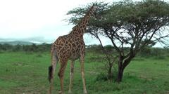 One giraffe feeding leaves from acacia in Tanzania, Africa Stock Footage