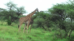 Two giraffes feeding leaves from acacia in Tanzania, Africa Stock Footage