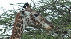 Giraffe head feeding leaves from acacia in Serengeti National Park, Tanzania Stock Footage
