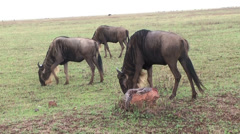 Wildebeests grazing on the grasslands of Serengeti, Tanzania, Africa Stock Footage