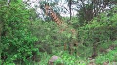 Giraffe wildlife in Serengeti National Park, Tanzania, Africa Stock Footage