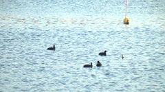 Bird,Waterfowl,River4 Stock Footage
