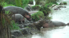 Adult hippos with cub entering river. Wildlife in Serengeti Park, Tanzania Stock Footage