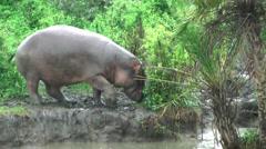 Hippos wildlife in Tanzania Stock Footage