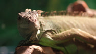 Stock Video Footage of Lizard resting on a branch in the terrarium