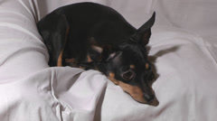 Russian toy terrier. Stock Footage
