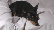 Stock Video Footage of Russian toy terrier.