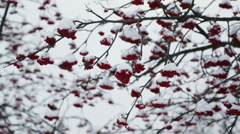 Ash-berry red branches under snow at winter Stock Footage