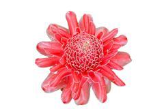Red flower of etlingera elatior white background Stock Photos