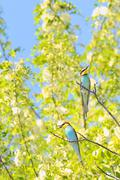 bee-eaters (merops apiaster) - stock photo