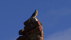 Falcon  on chimney in Virgin Gorda Stock Footage