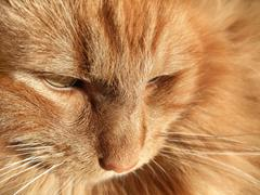 Stock Photo of maine coon cat closeup