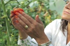 scientist checking a tomato in the greenhouse - stock footage