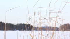 Reeds swiging in the breeze Stock Footage