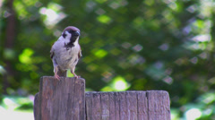Sparrow on the fence - stock footage