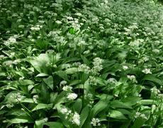 Ramsons, allium ursinum Stock Photos