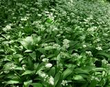 Stock Photo of ramsons, allium ursinum