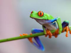 Red eye frog Stock Photos