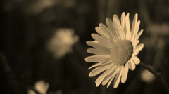 """An """"aged"""" film of a flower blowing in the wind Stock Footage"""