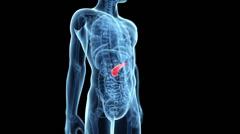 Human organs pancreas - stock footage